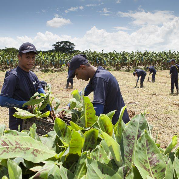 Chiquita wahrt Kontinuität in seiner Mission der nachhaltigen Landwirtschaft